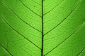 Background of Green Leaf cell structure - natural texture Royalty Free Stock Photo