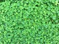 Background of green shamrock clover Royalty Free Stock Photo