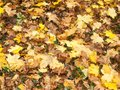 Background of ground brown orange fall autumn leaves floor fores Royalty Free Stock Photo