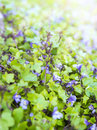 Background of groundcover plant with small blue flowers toning Stock Photos