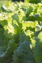 Background of growing lettuce vegetable greens on garden bed