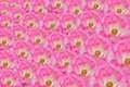 Background image pink roses Royalty Free Stock Image