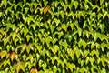 Background of japanese creeper green leaves Royalty Free Stock Images