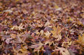 Background of japanese maple leaves in autumn Royalty Free Stock Photo