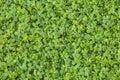 Background from leaf clover