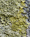Background from lichens growing on rock Stock Image