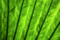 Background macro close up abstract of a green black leaf an and his veins in the light Royalty Free Stock Photo