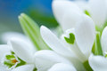 Background of macro snowdrop flowers Stock Photography