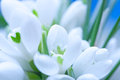 Background of macro snowdrop flowers Royalty Free Stock Photography
