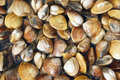 Background many clams Royalty Free Stock Images