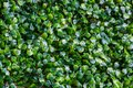 Background of many green small leaves is evenly distributed throughout the frame Royalty Free Stock Photo