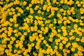 Image : Marigold flowers   girl