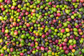 Background of natural coffee beans ripening day light Royalty Free Stock Photos
