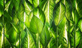 Background of natural green leaves Stock Images