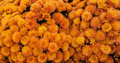 Background orange harvest mums of chrysanthemums to highlight the fall season with colorful blooming flowers Royalty Free Stock Photo