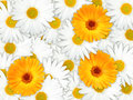 Background of orange and white flowers Royalty Free Stock Photo