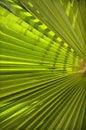 Background of palm leaf