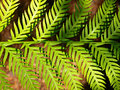Background Picture of Green Fern Leaves Royalty Free Stock Photo
