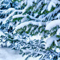 Background of pine branches in frost closeup blue Royalty Free Stock Photo