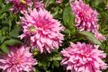 Pink Coloured Dahlia Flowers - Variety Is Hamari Girl