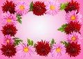 Background for the postcard of chrysanthemums. Stock Photo