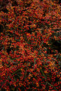 Background red berries in autumn Stock Photography