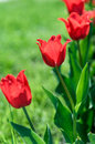 Background is red flowers of Tulip