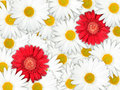 Background of red and white flowers Stock Photo