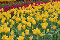 Background Red & Yellow color Tulip flowers in garden