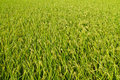 Background of rice field Stock Image