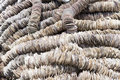 Background of scallop shells arranged on ropes to be used in oyster farming as settling substrate for the oyster larvae Stock Image