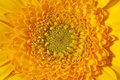 Background of single blooming flower of yellow gerbera macro Royalty Free Stock Photo