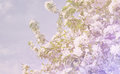 Background from spring white florets on branches Royalty Free Stock Photo