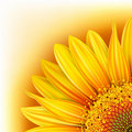 Background with sunflower Stock Images