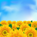 Background with sunflower Royalty Free Stock Photography