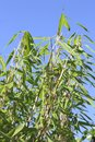 Background swaying bamboo against a blue sky in the garden Stock Photography
