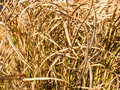 A background of tangled reeds Royalty Free Stock Images