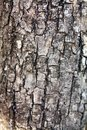 Background  texture of bark tree Royalty Free Stock Image