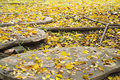 Background texture of yellow leaves in Autumn with big root of tree, foliage on the floor. Royalty Free Stock Photo