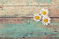 Background three daisies on old boards with shabby paint. Royalty Free Stock Photo