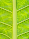 Background of tropical leaf Royalty Free Stock Photo