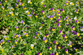 The background of the Viola tricolor, or pansies Royalty Free Stock Photo