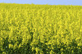 Background of vivid agricultural rapeseed field Royalty Free Stock Photography