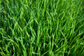 Background of a wet green grass Royalty Free Stock Image