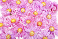 Background from wet pink daisies in detail Royalty Free Stock Image