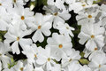 Background with white flowers of Phlox subulata Royalty Free Stock Image