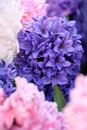 Background of white, pink and blue hyacinths, full frame Royalty Free Stock Photo
