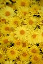 Background yellow daisy many flowers Royalty Free Stock Photos