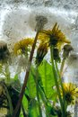 Background of yellow dandelion flower with green leaves frozen in ice Royalty Free Stock Photo