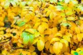 Background yellow and green  leaves in the autumn tree in the park Royalty Free Stock Photo